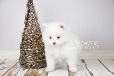 puppy113 week7 BowTiePomsky.com Bowtie Pomsky Puppy For Sale Husky Pomeranian Mini Dog Spokane WA Breeder Blue Eyes Pomskies Celebrity Puppy web3