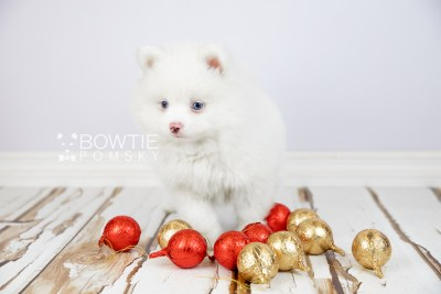 puppy113 week7 BowTiePomsky.com Bowtie Pomsky Puppy For Sale Husky Pomeranian Mini Dog Spokane WA Breeder Blue Eyes Pomskies Celebrity Puppy web5