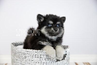 puppy114 week7 BowTiePomsky.com Bowtie Pomsky Puppy For Sale Husky Pomeranian Mini Dog Spokane WA Breeder Blue Eyes Pomskies Celebrity Puppy web5