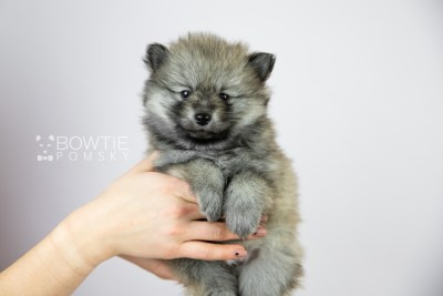 puppy115 week5 BowTiePomsky.com Bowtie Pomsky Puppy For Sale Husky Pomeranian Mini Dog Spokane WA Breeder Blue Eyes Pomskies Celebrity Puppy web1