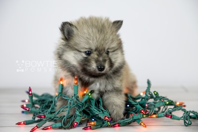 puppy115 week5 BowTiePomsky.com Bowtie Pomsky Puppy For Sale Husky Pomeranian Mini Dog Spokane WA Breeder Blue Eyes Pomskies Celebrity Puppy web2