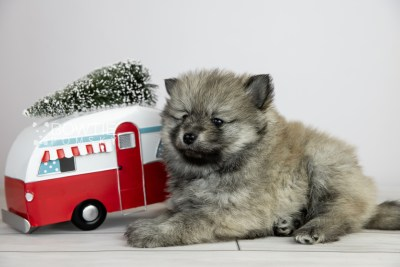 puppy115 week5 BowTiePomsky.com Bowtie Pomsky Puppy For Sale Husky Pomeranian Mini Dog Spokane WA Breeder Blue Eyes Pomskies Celebrity Puppy web5
