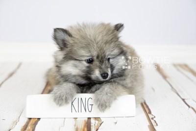 puppy115 week7 BowTiePomsky.com Bowtie Pomsky Puppy For Sale Husky Pomeranian Mini Dog Spokane WA Breeder Blue Eyes Pomskies Celebrity Puppy web3