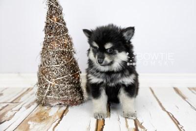 puppy116 week7 BowTiePomsky.com Bowtie Pomsky Puppy For Sale Husky Pomeranian Mini Dog Spokane WA Breeder Blue Eyes Pomskies Celebrity Puppy web2