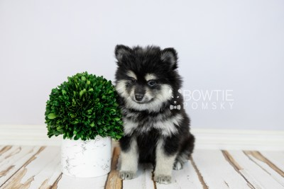 puppy116 week7 BowTiePomsky.com Bowtie Pomsky Puppy For Sale Husky Pomeranian Mini Dog Spokane WA Breeder Blue Eyes Pomskies Celebrity Puppy web4