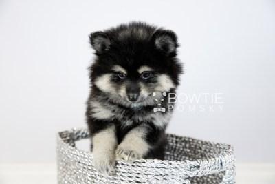 puppy116 week7 BowTiePomsky.com Bowtie Pomsky Puppy For Sale Husky Pomeranian Mini Dog Spokane WA Breeder Blue Eyes Pomskies Celebrity Puppy web5