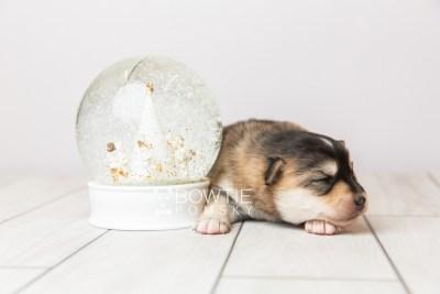 puppy119 week1 BowTiePomsky.com Bowtie Pomsky Puppy For Sale Husky Pomeranian Mini Dog Spokane WA Breeder Blue Eyes Pomskies Celebrity Puppy web5