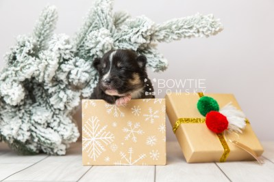 puppy120 week1 BowTiePomsky.com Bowtie Pomsky Puppy For Sale Husky Pomeranian Mini Dog Spokane WA Breeder Blue Eyes Pomskies Celebrity Puppy web1