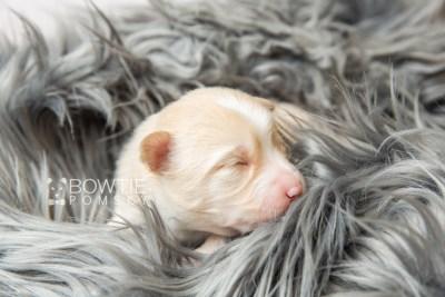puppy121 week1 BowTiePomsky.com Bowtie Pomsky Puppy For Sale Husky Pomeranian Mini Dog Spokane WA Breeder Blue Eyes Pomskies Celebrity Puppy web2