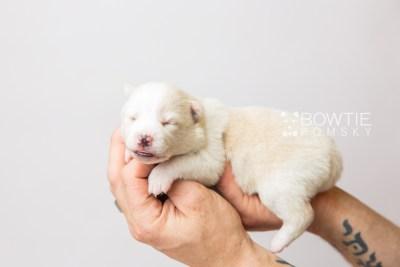 puppy122 week1 BowTiePomsky.com Bowtie Pomsky Puppy For Sale Husky Pomeranian Mini Dog Spokane WA Breeder Blue Eyes Pomskies Celebrity Puppy web3