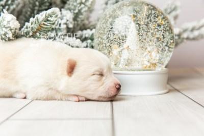 puppy122 week1 BowTiePomsky.com Bowtie Pomsky Puppy For Sale Husky Pomeranian Mini Dog Spokane WA Breeder Blue Eyes Pomskies Celebrity Puppy web5