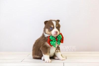 puppy118 week3 BowTiePomsky.com Bowtie Pomsky Puppy For Sale Husky Pomeranian Mini Dog Spokane WA Breeder Blue Eyes Pomskies Celebrity Puppy web-size web4
