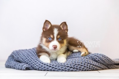 puppy118 week5 BowTiePomsky.com Bowtie Pomsky Puppy For Sale Husky Pomeranian Mini Dog Spokane WA Breeder Blue Eyes Pomskies Celebrity Puppy web1