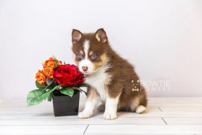 puppy118 week5 BowTiePomsky.com Bowtie Pomsky Puppy For Sale Husky Pomeranian Mini Dog Spokane WA Breeder Blue Eyes Pomskies Celebrity Puppy web5