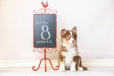 puppy118 week7 BowTiePomsky.com Bowtie Pomsky Puppy For Sale Husky Pomeranian Mini Dog Spokane WA Breeder Blue Eyes Pomskies Celebrity Puppy web2