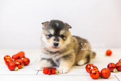puppy119 week3 BowTiePomsky.com Bowtie Pomsky Puppy For Sale Husky Pomeranian Mini Dog Spokane WA Breeder Blue Eyes Pomskies Celebrity Puppy web-size web2