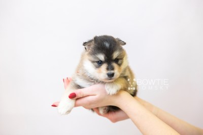 puppy119 week3 BowTiePomsky.com Bowtie Pomsky Puppy For Sale Husky Pomeranian Mini Dog Spokane WA Breeder Blue Eyes Pomskies Celebrity Puppy web-size web6