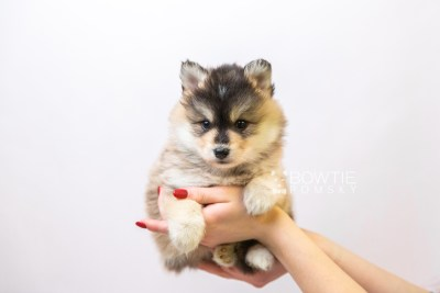 puppy119 week5 BowTiePomsky.com Bowtie Pomsky Puppy For Sale Husky Pomeranian Mini Dog Spokane WA Breeder Blue Eyes Pomskies Celebrity Puppy web1