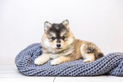 puppy119 week5 BowTiePomsky.com Bowtie Pomsky Puppy For Sale Husky Pomeranian Mini Dog Spokane WA Breeder Blue Eyes Pomskies Celebrity Puppy web2