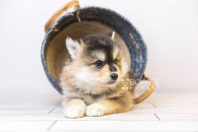 puppy119 week5 BowTiePomsky.com Bowtie Pomsky Puppy For Sale Husky Pomeranian Mini Dog Spokane WA Breeder Blue Eyes Pomskies Celebrity Puppy web3