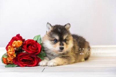 puppy119 week5 BowTiePomsky.com Bowtie Pomsky Puppy For Sale Husky Pomeranian Mini Dog Spokane WA Breeder Blue Eyes Pomskies Celebrity Puppy web5
