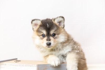 puppy119 week7 BowTiePomsky.com Bowtie Pomsky Puppy For Sale Husky Pomeranian Mini Dog Spokane WA Breeder Blue Eyes Pomskies Celebrity Puppy web4