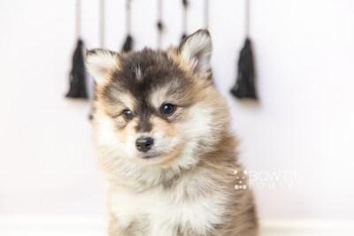 puppy119 week7 BowTiePomsky.com Bowtie Pomsky Puppy For Sale Husky Pomeranian Mini Dog Spokane WA Breeder Blue Eyes Pomskies Celebrity Puppy web5