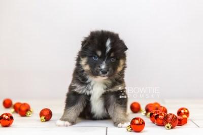 puppy120 week3 BowTiePomsky.com Bowtie Pomsky Puppy For Sale Husky Pomeranian Mini Dog Spokane WA Breeder Blue Eyes Pomskies Celebrity Puppy web-size web1