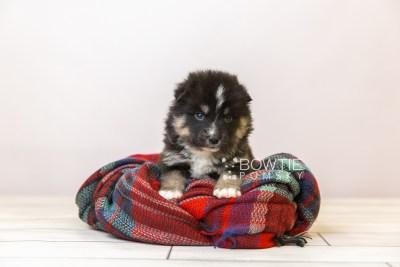 puppy120 week3 BowTiePomsky.com Bowtie Pomsky Puppy For Sale Husky Pomeranian Mini Dog Spokane WA Breeder Blue Eyes Pomskies Celebrity Puppy web-size web2