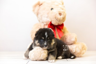 puppy120 week3 BowTiePomsky.com Bowtie Pomsky Puppy For Sale Husky Pomeranian Mini Dog Spokane WA Breeder Blue Eyes Pomskies Celebrity Puppy web-size web5