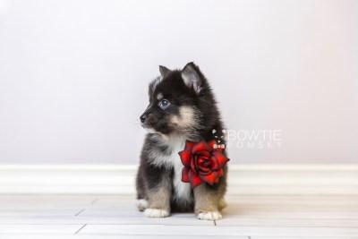 puppy120 week5 BowTiePomsky.com Bowtie Pomsky Puppy For Sale Husky Pomeranian Mini Dog Spokane WA Breeder Blue Eyes Pomskies Celebrity Puppy web3
