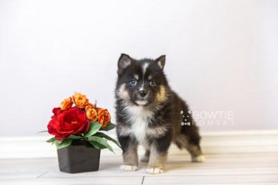 puppy120 week5 BowTiePomsky.com Bowtie Pomsky Puppy For Sale Husky Pomeranian Mini Dog Spokane WA Breeder Blue Eyes Pomskies Celebrity Puppy web4