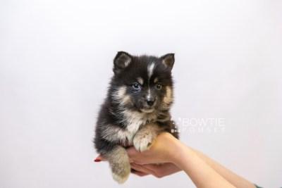 puppy120 week5 BowTiePomsky.com Bowtie Pomsky Puppy For Sale Husky Pomeranian Mini Dog Spokane WA Breeder Blue Eyes Pomskies Celebrity Puppy web6