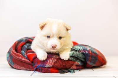 puppy121 week3 BowTiePomsky.com Bowtie Pomsky Puppy For Sale Husky Pomeranian Mini Dog Spokane WA Breeder Blue Eyes Pomskies Celebrity Puppy web-size web1