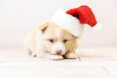 puppy121 week3 BowTiePomsky.com Bowtie Pomsky Puppy For Sale Husky Pomeranian Mini Dog Spokane WA Breeder Blue Eyes Pomskies Celebrity Puppy web-size web3