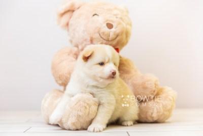 puppy121 week3 BowTiePomsky.com Bowtie Pomsky Puppy For Sale Husky Pomeranian Mini Dog Spokane WA Breeder Blue Eyes Pomskies Celebrity Puppy web-size web5