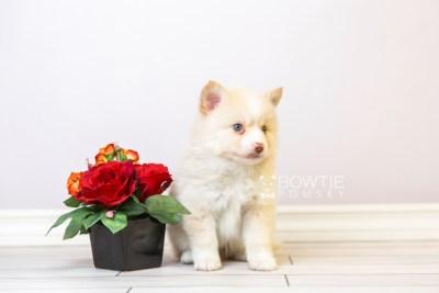 puppy121 week5 BowTiePomsky.com Bowtie Pomsky Puppy For Sale Husky Pomeranian Mini Dog Spokane WA Breeder Blue Eyes Pomskies Celebrity Puppy web3