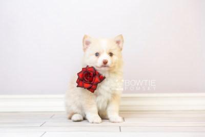 puppy121 week5 BowTiePomsky.com Bowtie Pomsky Puppy For Sale Husky Pomeranian Mini Dog Spokane WA Breeder Blue Eyes Pomskies Celebrity Puppy web4