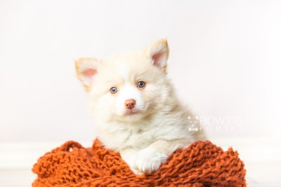 puppy121 week7 BowTiePomsky.com Bowtie Pomsky Puppy For Sale Husky Pomeranian Mini Dog Spokane WA Breeder Blue Eyes Pomskies Celebrity Puppy web3