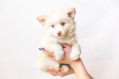 puppy121 week7 BowTiePomsky.com Bowtie Pomsky Puppy For Sale Husky Pomeranian Mini Dog Spokane WA Breeder Blue Eyes Pomskies Celebrity Puppy web6