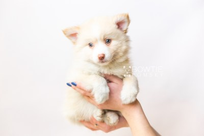 puppy121 week7 BowTiePomsky.com Bowtie Pomsky Puppy For Sale Husky Pomeranian Mini Dog Spokane WA Breeder Blue Eyes Pomskies Celebrity Puppy web6