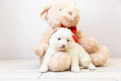 puppy122 week3 BowTiePomsky.com Bowtie Pomsky Puppy For Sale Husky Pomeranian Mini Dog Spokane WA Breeder Blue Eyes Pomskies Celebrity Puppy web-size web5
