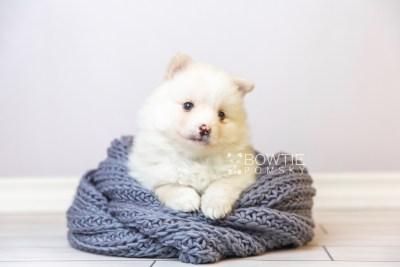 puppy122 week5 BowTiePomsky.com Bowtie Pomsky Puppy For Sale Husky Pomeranian Mini Dog Spokane WA Breeder Blue Eyes Pomskies Celebrity Puppy web1
