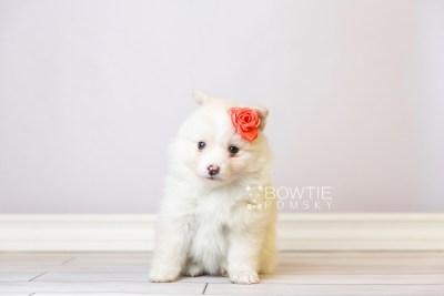 puppy122 week5 BowTiePomsky.com Bowtie Pomsky Puppy For Sale Husky Pomeranian Mini Dog Spokane WA Breeder Blue Eyes Pomskies Celebrity Puppy web3