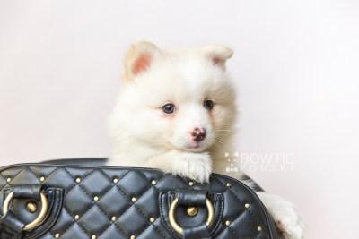 puppy122 week7 BowTiePomsky.com Bowtie Pomsky Puppy For Sale Husky Pomeranian Mini Dog Spokane WA Breeder Blue Eyes Pomskies Celebrity Puppy web3