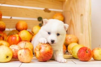 puppy123 week3 BowTiePomsky.com Bowtie Pomsky Puppy For Sale Husky Pomeranian Mini Dog Spokane WA Breeder Blue Eyes Pomskies Celebrity Puppy web-size web4