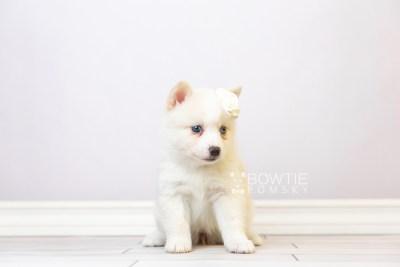 puppy123 week5 BowTiePomsky.com Bowtie Pomsky Puppy For Sale Husky Pomeranian Mini Dog Spokane WA Breeder Blue Eyes Pomskies Celebrity Puppy web3