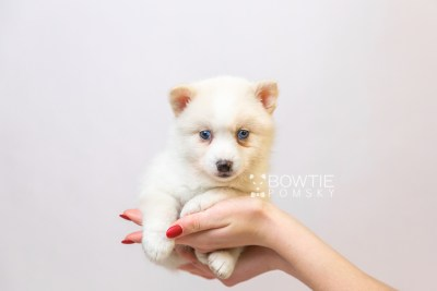 puppy123 week5 BowTiePomsky.com Bowtie Pomsky Puppy For Sale Husky Pomeranian Mini Dog Spokane WA Breeder Blue Eyes Pomskies Celebrity Puppy web6