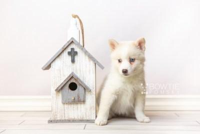 puppy123 week7 BowTiePomsky.com Bowtie Pomsky Puppy For Sale Husky Pomeranian Mini Dog Spokane WA Breeder Blue Eyes Pomskies Celebrity Puppy web1