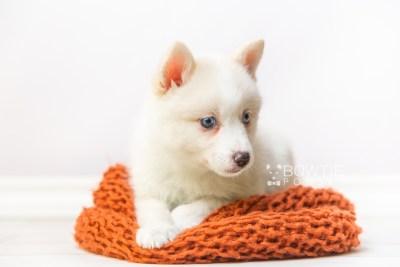 puppy123 week7 BowTiePomsky.com Bowtie Pomsky Puppy For Sale Husky Pomeranian Mini Dog Spokane WA Breeder Blue Eyes Pomskies Celebrity Puppy web4